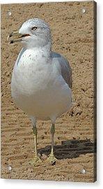 Belmont Beach Bird Acrylic Print