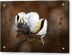 Them Cotton Bolls Acrylic Print by Kathy Clark
