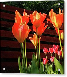 These Are #tulips From My Back Garden Acrylic Print by Dante Harker
