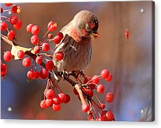 These Berries Are Making Me Dizzy  Acrylic Print