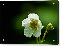 Thimbleberry Flower Acrylic Print by R J Ruppenthal