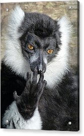 Thinking Black And White Ruffed Lemur Acrylic Print by Margaret Saheed