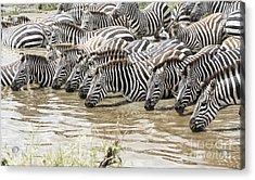 Thirsty Zebras Acrylic Print