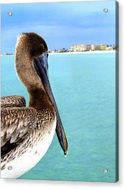 This Is My Town - Pelican At Clearwater Beach Florida  Acrylic Print