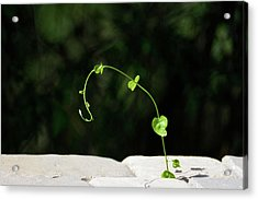 This Little Vine - Shining In The Sunlight Acrylic Print