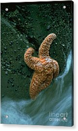 This Starfish Has A Good Grip Acrylic Print by Sven Brogren