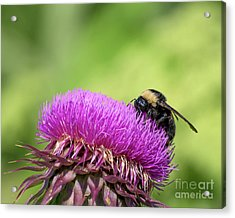 Thistle And Bee Acrylic Print
