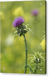 Thistle And Mustard Acrylic Print by Doug Herr