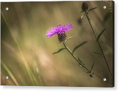 Thistle Acrylic Print by Chris Fletcher