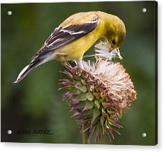 Thistle Seed Gathering Acrylic Print by Don Durfee