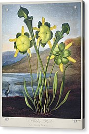 Thornton: Pitcher Plant Acrylic Print by Granger
