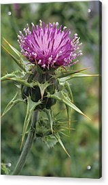 Thorny Beauty Acrylic Print