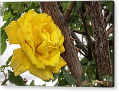 Thorny Love Acrylic Print by Charles Ables