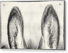 Those Ears Acrylic Print