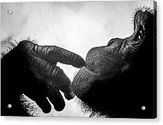 Thoughtful Chimpanzee Acrylic Print by Marius Sipa