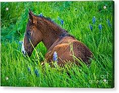 Thoughtful Foal Acrylic Print