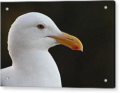 Thoughtful Gull Acrylic Print