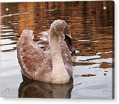 Thoughtful - Juvenile Mute Swan Acrylic Print by Gill Billington