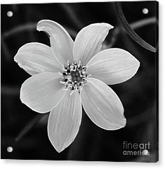 Threadleaf In Black And White Acrylic Print