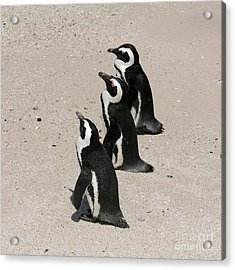 Three African Penguins Acrylic Print