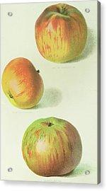 Three Apples Acrylic Print by English School