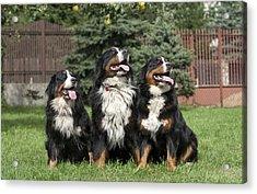 Three Bernese Mountain Dog Portrait Acrylic Print by Waldek Dabrowski