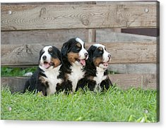 Three Bernese Mountain Dog Puppies Portrait Acrylic Print by Waldek Dabrowski