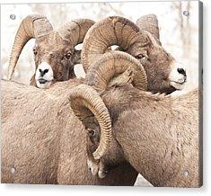 Three Bighorn Rams Acrylic Print