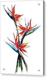 Three Birds Acrylic Print by Suzanne Krueger