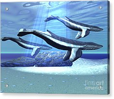 Three Blue Whales Move Acrylic Print by Corey Ford
