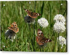 Three Buckeye Butterflies On Wildflowers Acrylic Print