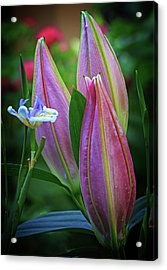 Acrylic Print featuring the photograph Three Buds by Robert Pilkington