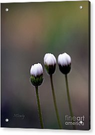 Three Buds Sprawling Daisy Acrylic Print