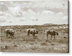 Acrylic Print featuring the photograph Three Buffalo Calves by Rebecca Margraf
