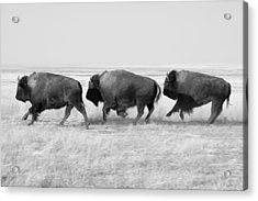Three Buffalo In Black And White Acrylic Print by Todd Klassy