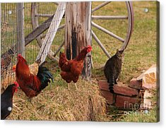 Three Chickens And A Cat Acrylic Print
