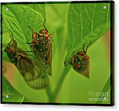 Three Cicadas Acrylic Print by Photo Captures by Jeffery