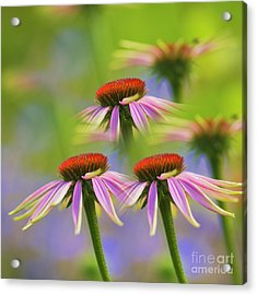 Three Coneflowers Acrylic Print by Veikko Suikkanen