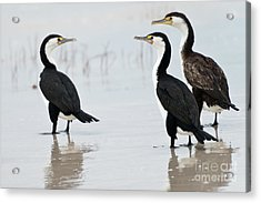 Acrylic Print featuring the photograph Three Cormorants by Werner Padarin