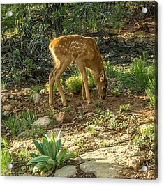 Acrylic Print featuring the photograph Three Day Old Fawn by Claudia Abbott