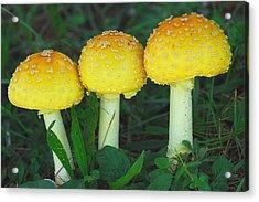 Three Fungiteers Acrylic Print