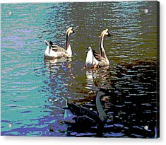 Three Geese Swimming Acrylic Print by Diann Baggett