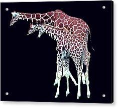 Three Giraffes Acrylic Print by Merton Allen