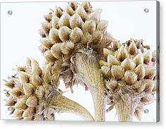 Three Globe Cornflower Seed Heads - Macro Acrylic Print by Sandra Foster