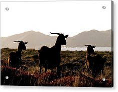 Acrylic Print featuring the photograph Three Goats by Pedro Cardona