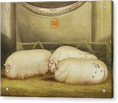 Three Improved Leicesters In A Pen At 1858 Smithfield Club Christmas Show Acrylic Print
