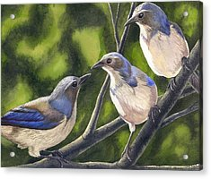 Three Jays Acrylic Print by Catherine G McElroy