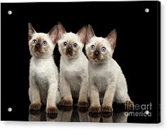 Three Kitty Of Breed Mekong Bobtail On Black Background Acrylic Print by Sergey Taran