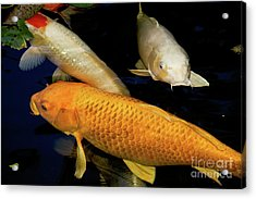 Three Large Koi  Acrylic Print