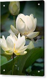 Three Lotus Flowers Acrylic Print by Mary Almond